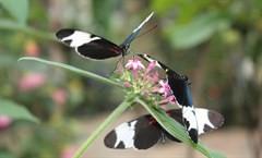 """Tropische vlindertuin """"De Passiflorahoeve"""" in Harskamp"""
